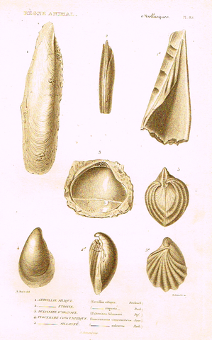 "Cuvier's Mollusks - ""GERVILLIE SILIQUE"" - Plate 83 - Copper Engraving - 1830"