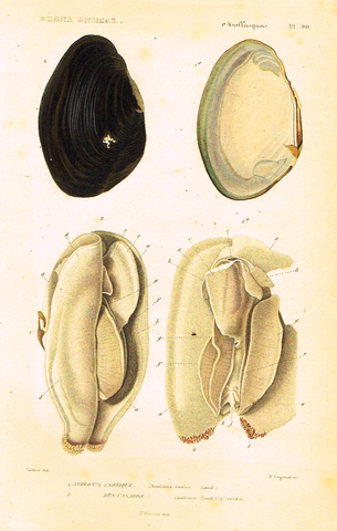 "Cuvier's Mollusks - ""ANODONTE EXOTIQUE"" - Plate 90 - Hand Col'd Engraving - 1830"