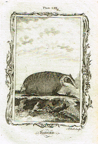 "Buffon's - ""BADGER"" - Copper Engraving - Plate LXX - 1791"
