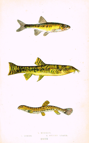 "Couch's Fish - ""MINNOW & LOACH"" - Plate CXCIX - Hand Col'd Litho - 1862"