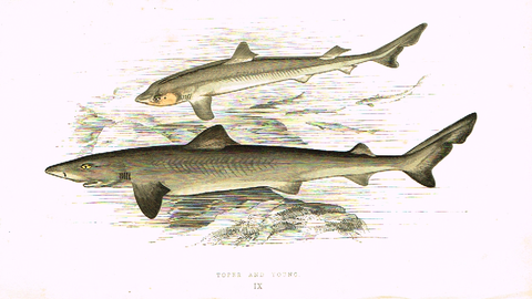 "Couch's Fish - ""TOPER  & YOUNG"" - Plate IX - H-Col'd Litho - 1862"