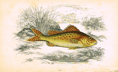"Couch's Fish - ""RUFF"" - Plate XLI - H-Col'd Litho - 1862"