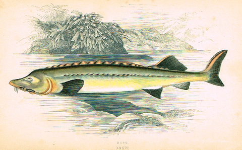 "Couch's Fish - ""HUSO"" - Plate XXXVI - H-Col'd Litho - 1862"