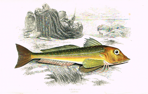 "Couch's Fish - ""GURNARD"" - Plate LXVIII - H-Col'd Litho - 1862"