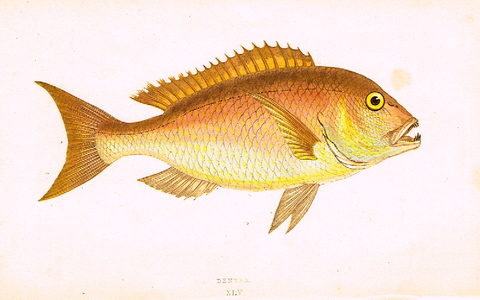 "Couch's Fish - ""DENTEX"" - Plate XLV - H-Col'd Litho - 1862"