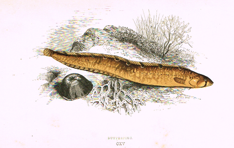 "Couch's Fish - ""BUTTERFISH"" - Plate CXV - H-Col'd Litho - 1862"