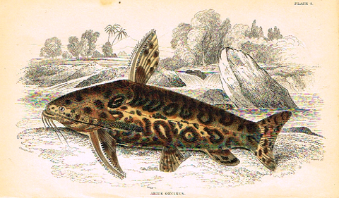 "Jardine's Fish - ""ARIUS ONCINUS"" - Plate 4 - Hand Col'd Eng. - 1834"