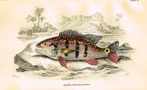"Jardine's Fish - ""CYCHLA CLAVO-MACULATA"" - Plate 6 - Hand Col'd Eng. - 1834"