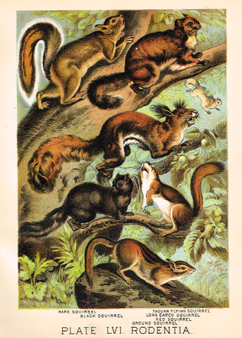 "Johnson's Animal Kingdom - ""SQUIRREL"" - Chromo - 1880"