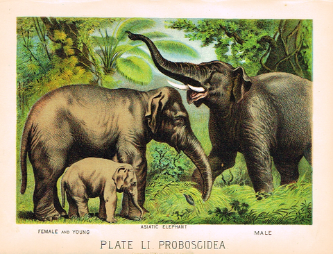 "Johnson's Animal Kingdom - ""ASIATIC ELEPHANT"" - Chromo - 1880"