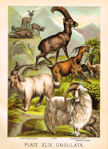 "Johnson's Animal Kingdom - ""GOATS - Chromo - 1880"