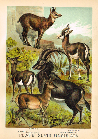 "Johnson's Animal Kingdom - ""GAZELLE - Chromo - 1880"
