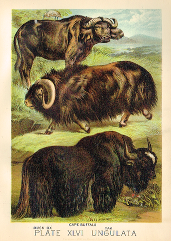 "Johnson's Animal Kingdom - ""MUSK OX"" - Chromo - 1880"