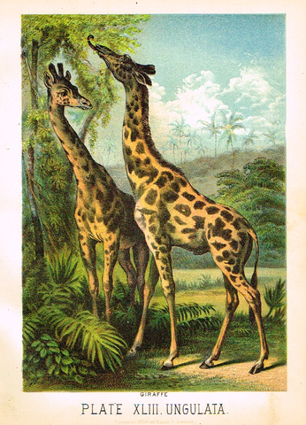 "Johnson's Animal Kingdom - ""GIRAFFE"" - Chromo - 1880"