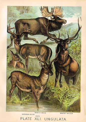 "Johnson's Animal Kingdom - ""MOOSE"" - Chromo - 1880"