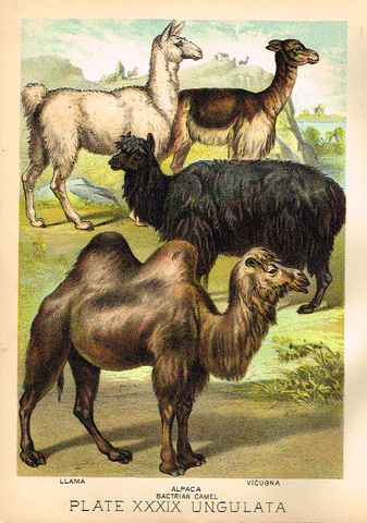 "Johnson's Animal Kingdom - ""ALPACA"" - Chromo - 1880"