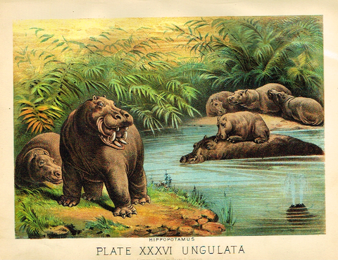 "Johnson's Animal Kingdom - ""HIPPOPOTAMUS"" - Chromo - 1880"