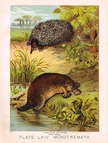 "Johnson's Animal Kingdom - ""PORCUPINE"" - Chromo - 1880"