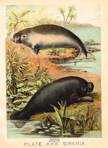 "Johnson's Animal Kingdom - ""MANATEE"" - Chromo - 1880"