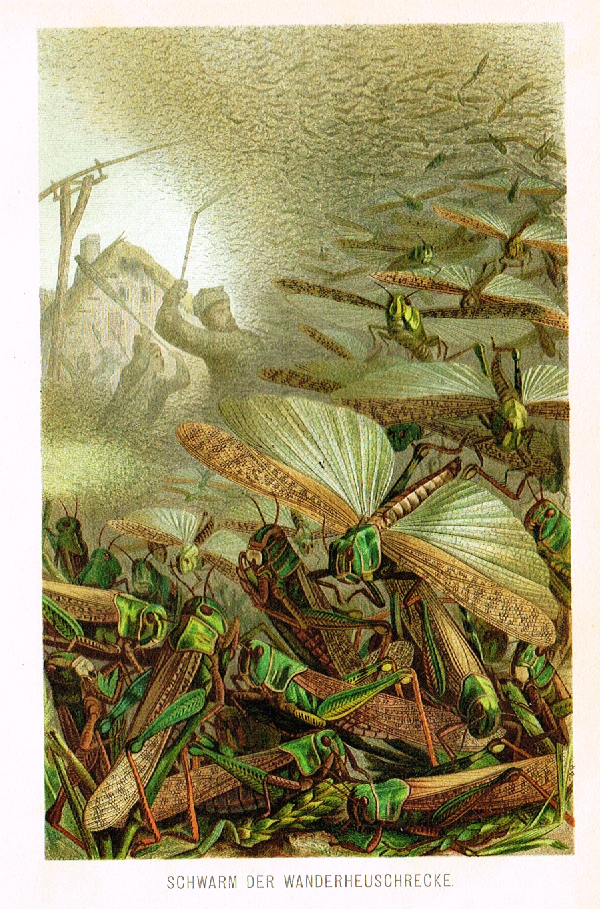 "Meyers' Lexicon - ""SCHWARM DER WANDERHEUSCHRECKE""- Insects  - Lithograph - c1890"
