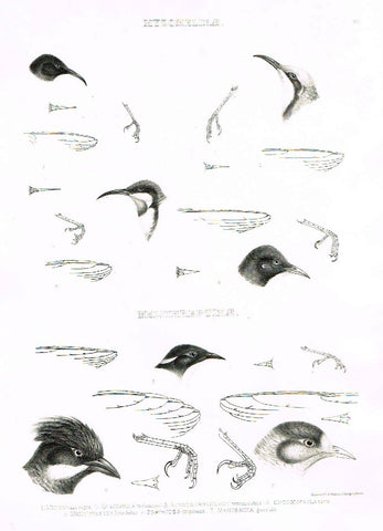 "Gray Antique Bird Print -  ""MYZOMELINAE"" - Lithograph - 1844"
