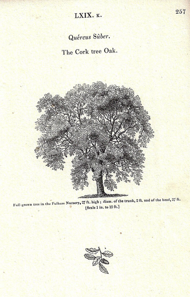 Loudon's - CORK TREE OAK - Trees of Britain - Lithogrpaph - 1838