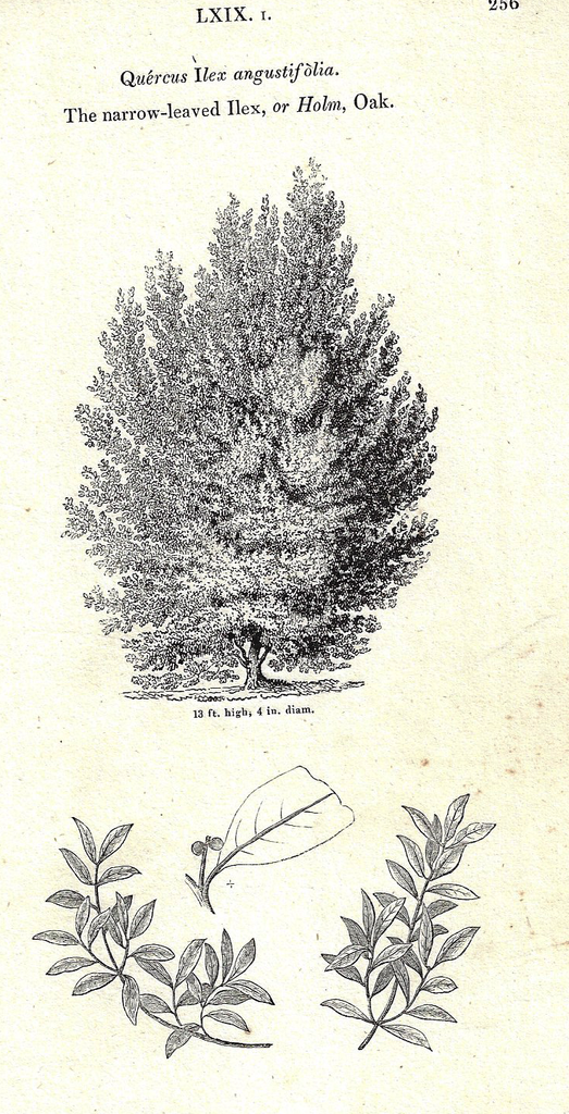 Loudon's - HOLM OAK - Trees of Britain - Lithogrpaph - 1838