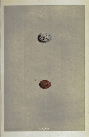 "Bird Eggs - ""LAPLAND BUNTING"" -  Colored Engraving - 1856"