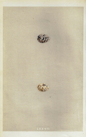 "Bird Eggs - ""BLACK HEADED BUNTING"" -  Colored Engraving - 1856"