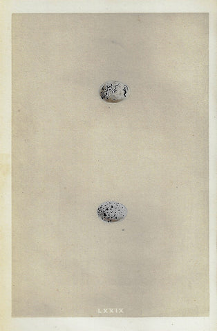 "Bird Eggs - ""CIRL BUNTING"" -  Colored Engraving - 1856"