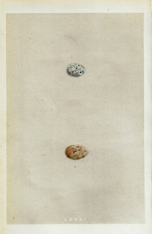 "Bird Eggs - ""MOUNTAIN FINCH"" -  Colored Engraving - 1856"