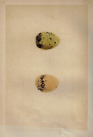 "Bird Eggs - ""COMMON TERN"" -  Colored Engraving - 1856"