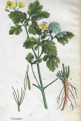 "Poisonous Plants ""CELANDINE"" - Hand Colored Lithograph - c1850"