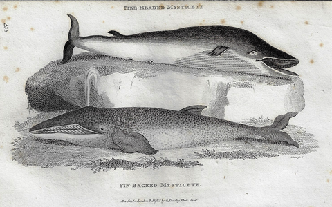 "Shaw's  Zoology - ""PIKE-HEADED MYSTICETE"" - Copper Eng. - 1800"