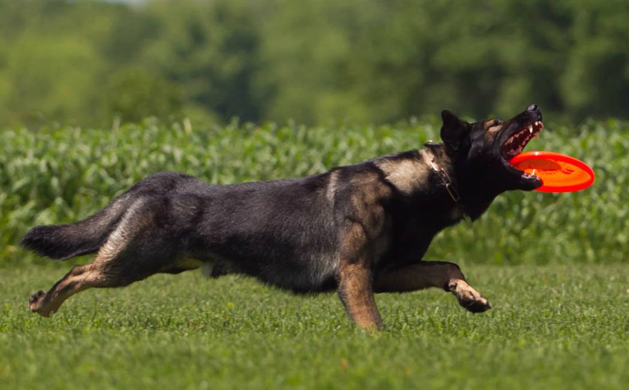 Maintaining Healthy Joints in Active Dogs