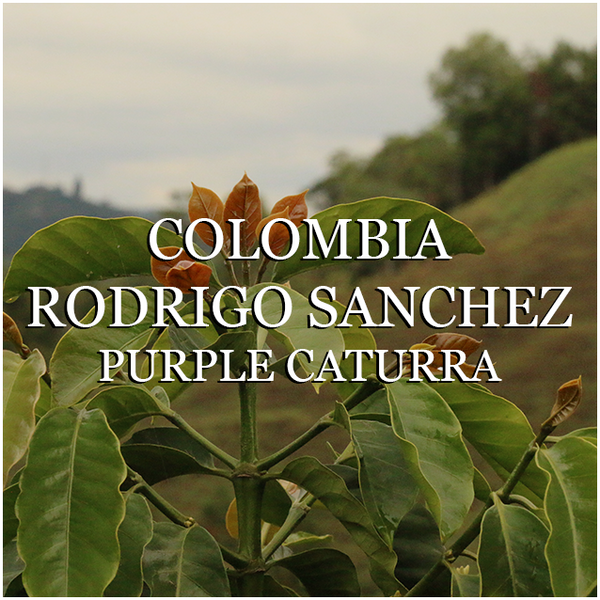Colombia Rodrigo Sanchez Purple Caturra