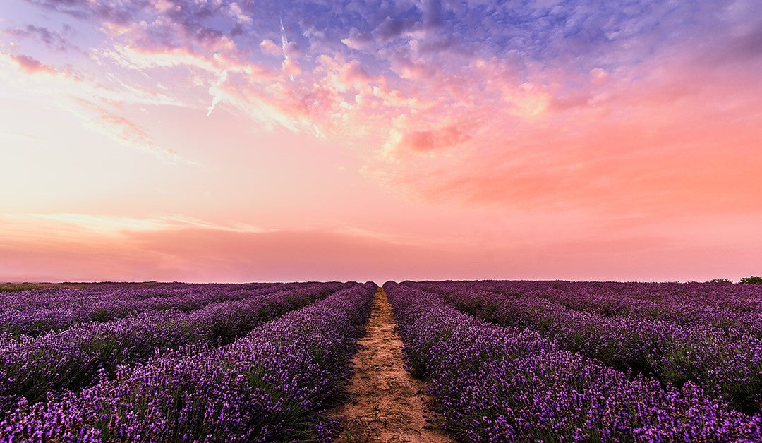Improving Sleep With Lavender Oils Science Explains Healing Solutions Essential Oils