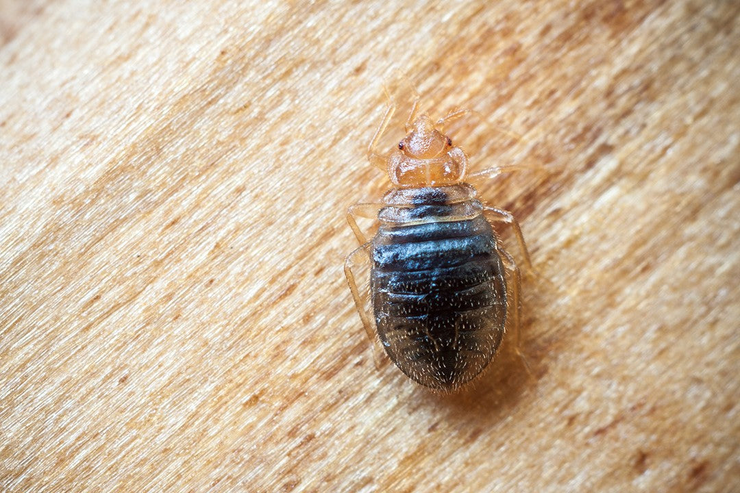 Kill or Repel Bed Bugs with Essential Oils