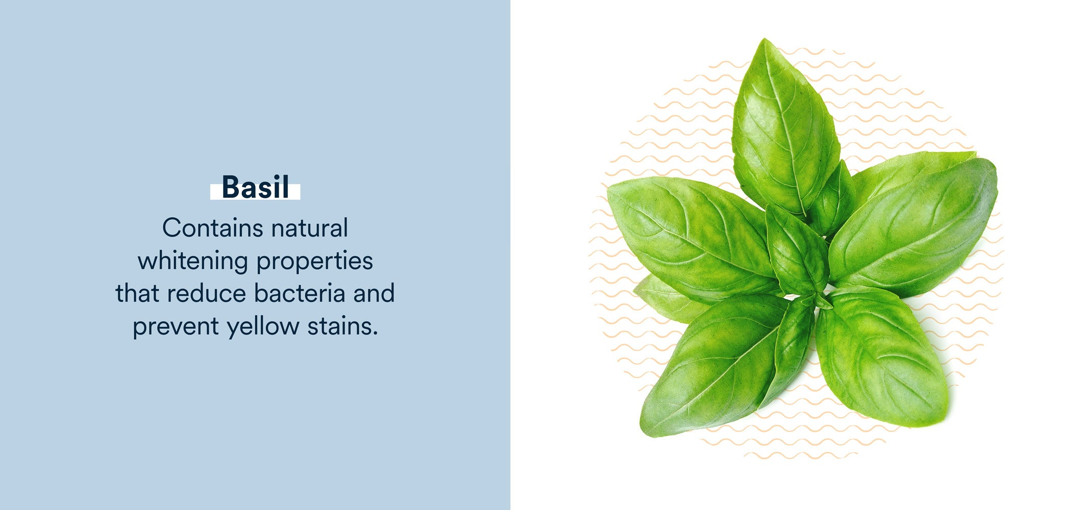 basil contains natural whitening properties