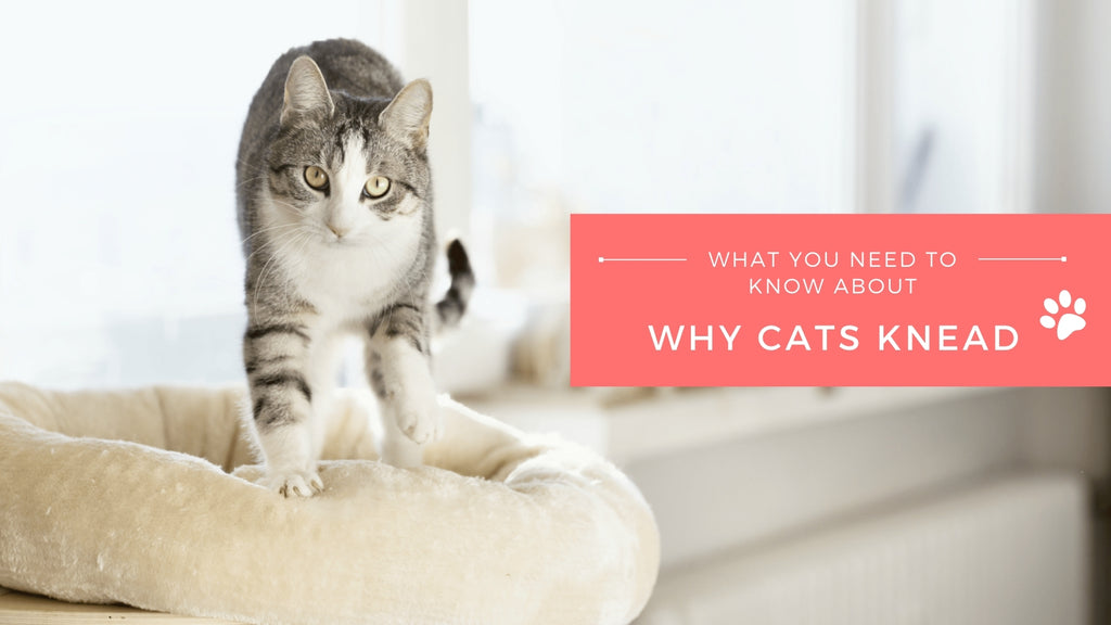 ViviPet | What You Need to Know About Why Cats Knead