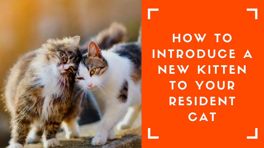 ViviPet | How To Introduce A New Kitten To Your Resident Cat