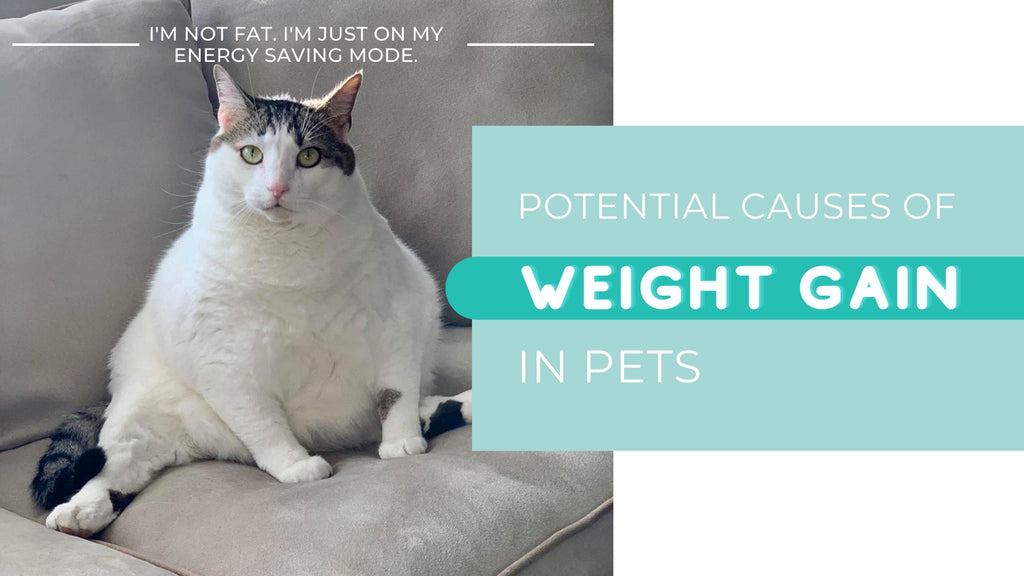Vivipet Potential Causes of Weight Gain in Pets