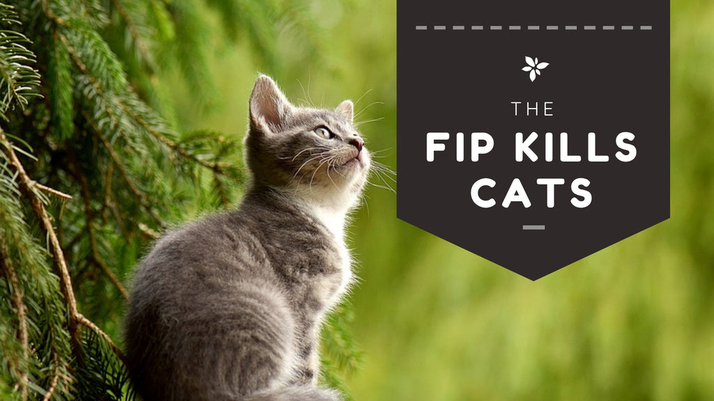 ViviPet | FIP (Feline Infectious Peritonitis) kills cats