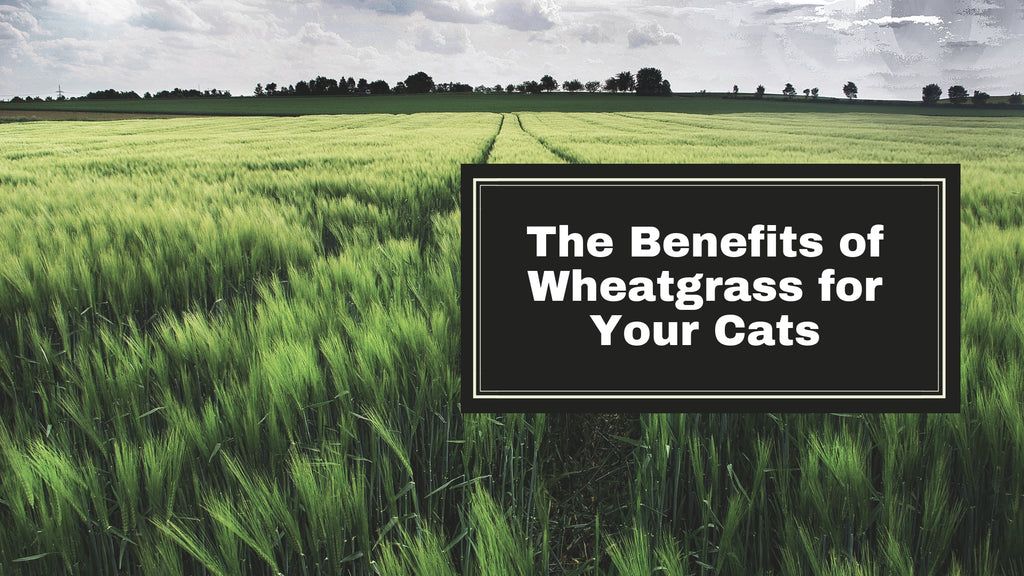 ViviPet | The Benefits of Wheatgrass for Your Cats