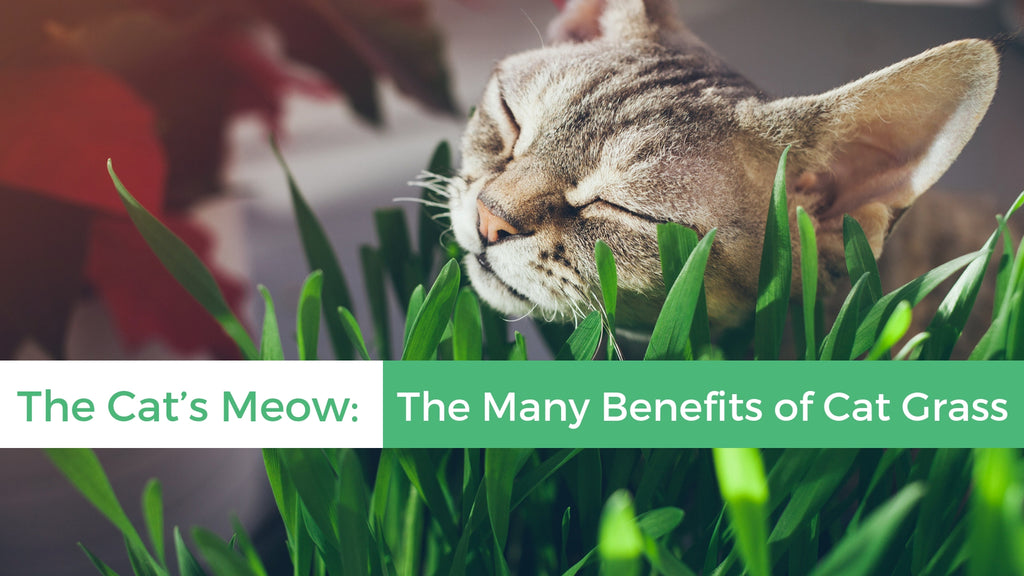 ViviPet | The Cat's Meow: The Many Benefits of Cat Grass