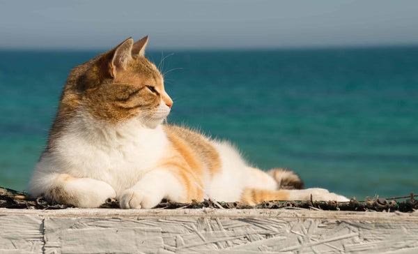 Beat the Heat How to Keep Your Kitty Cool and Healthy This Summer