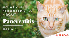 What You Should Know About Pancreatitis in Cats