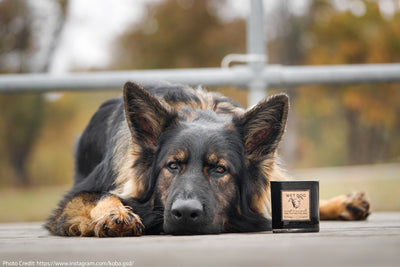 Wet Dog Candle handpoured by women refugees in the U.S. at Prosperity Candle next to a German Shepherd.