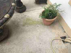 Green algae growing around plant pot before treating with Benz Perma Cleanze
