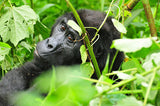 STT U009: Gorilla Trekking in Bwindi or Mgahinga Sanctuaries - 4 Days
